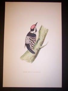 F.O. Morris Woodpecker Print from 1890.