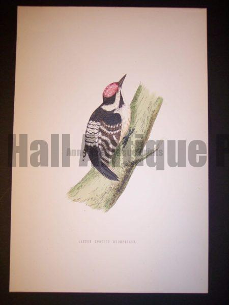 F.O. Morris Woodpecker Print from 1890.