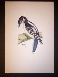 F.O. Morris Woodpecker Print
