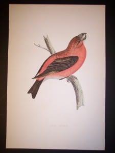 Morris Bird Antique Bird Print from 1890 9989