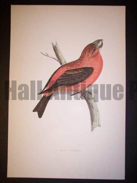 Morris Bird Antique Bird Print from 1890 9989