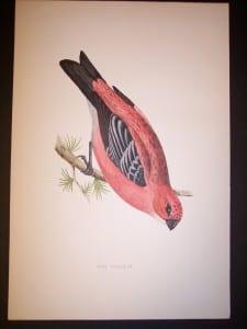 Morris Bird Antique Bird Print from 1890 9990