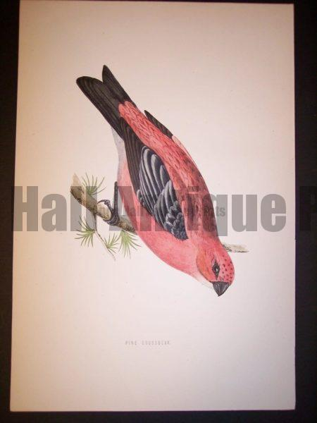 Morris Bird Antique Bird Print from 1890 9990