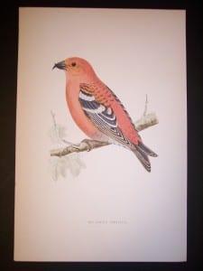 Morris Bird Antique Bird Print from 1890 9991