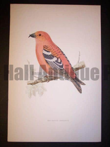 Morris Bird Antique Bird Print from 1890 9991