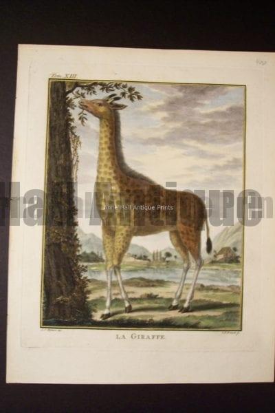 Buffon Giraffe $250.