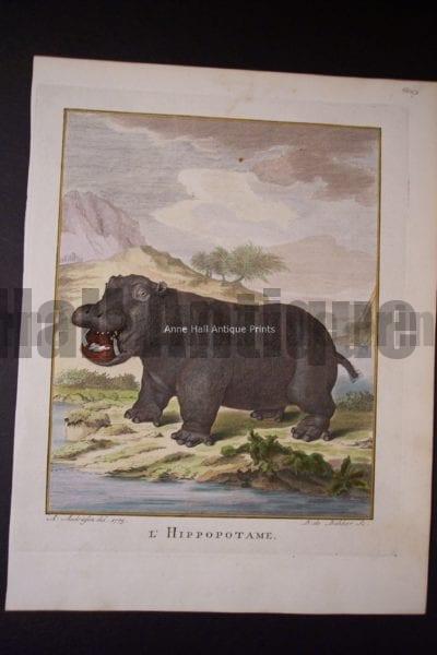 Buffon Hippopotamus