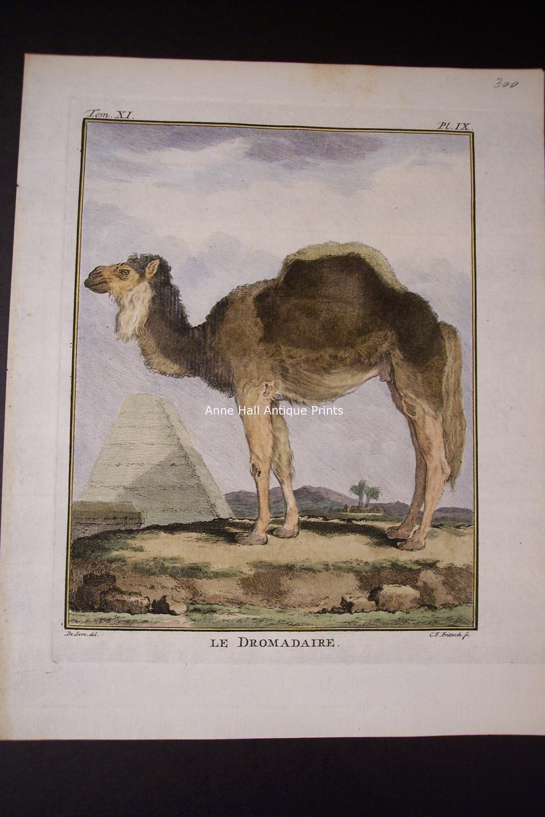Buffon Camel Single Humped