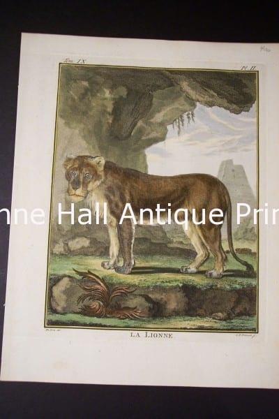 Buffon Lioness