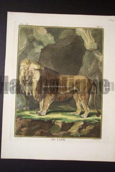 Buffon Lion