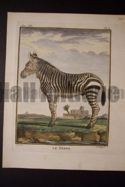 Buffon Zebra