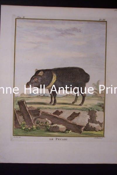 Buffon Pecari Pig