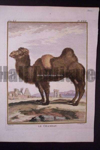 Buffon Camel 2 Humped