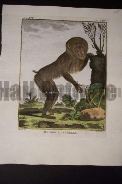 Buffon Monkey 0148