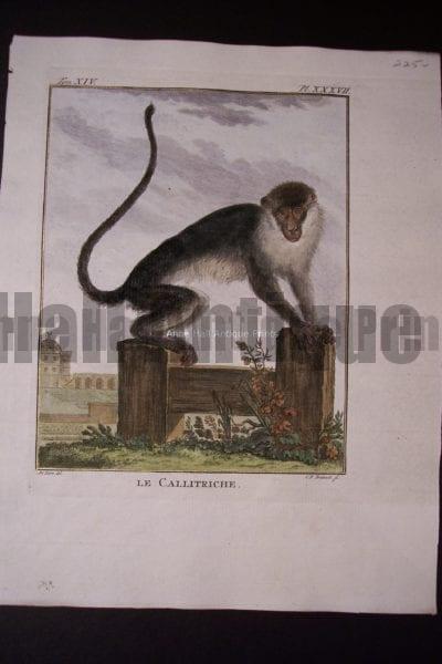 Buffon Monkey 0149
