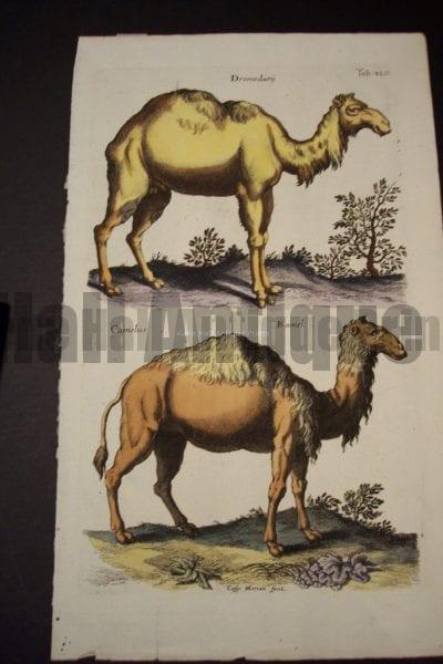 Merian Camels Engraving