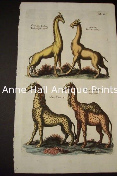 Merian Giraffes Engraving