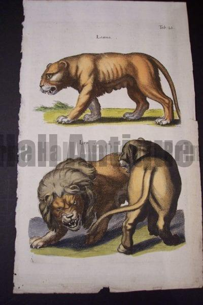 Merian Lions Hand Colored Engraving