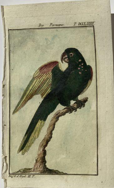 Buffon Parrot 3