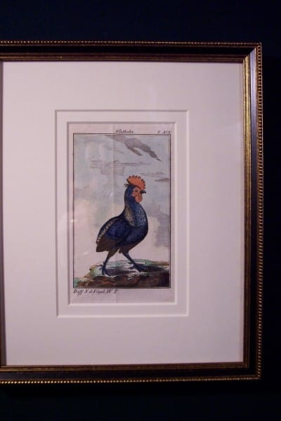 Chickens! Rare Buffon Engraving Framed in Black & Gold