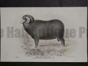 1888 Sheep Print, Old American lithograph