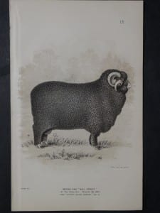 1888 Sheep Print, Old American lithograph 9307
