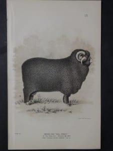 1888 Sheep Print, Old American lithograph 9307