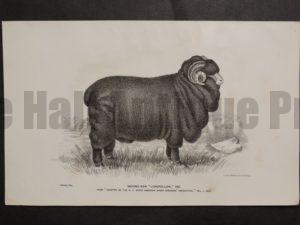 1888 Sheep Print, Old American lithograph(1)