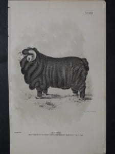 1888 Sheep Print, Old American lithograph(10)