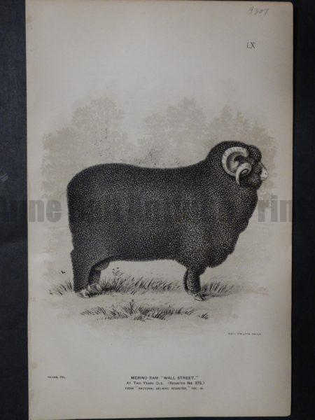 1888 Sheep Print, Old American lithograp 9307