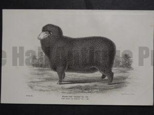 1888 Sheep Print, Old American lithograph(2)