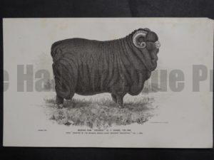 1888 Sheep Print, Old American lithograph(3)