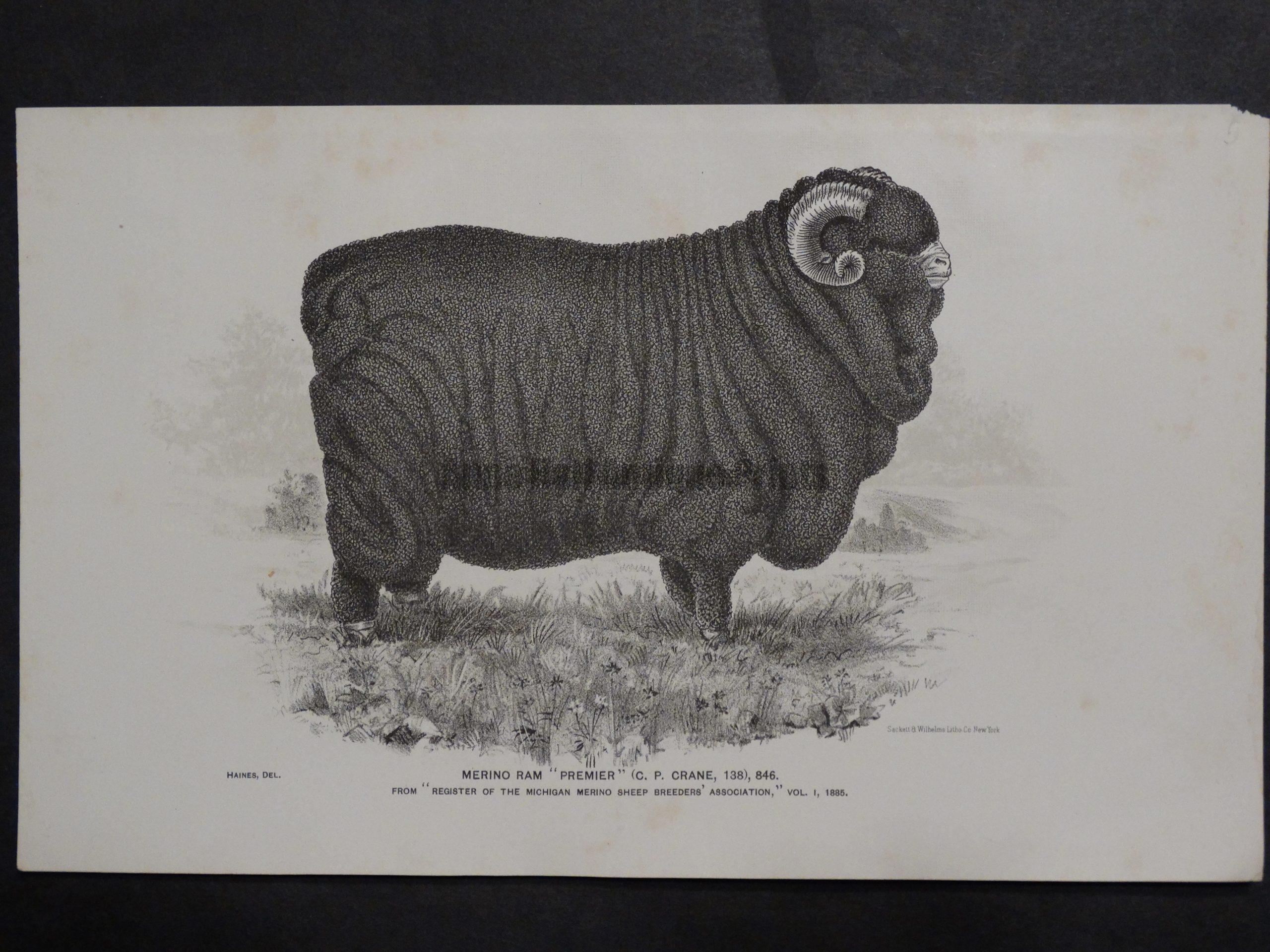 1888 Sheep Print, Old American lithograph(3)