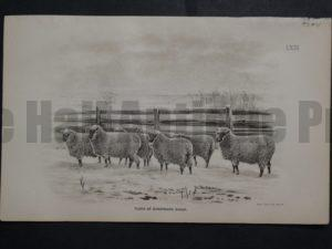 1888 Sheep Print, Old American lithograph(5)