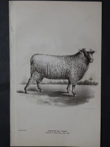 1888 Sheep Print, Old American lithograph(6)