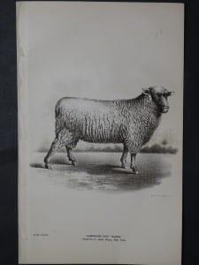 1888 Sheep Print, Old American lithograph(6)
