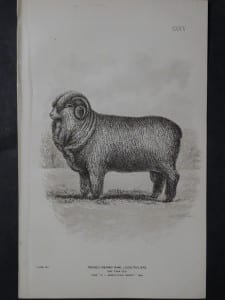 1888 Sheep Print, Old American lithograph(7)