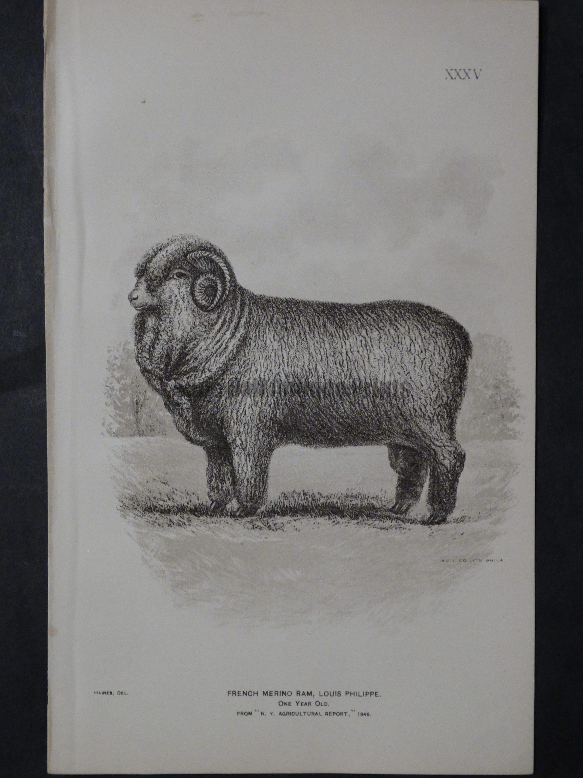 1888 Sheep Print, Old American lithograph(7)