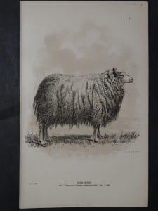 1888 Sheep Print, Old American lithograph(8)