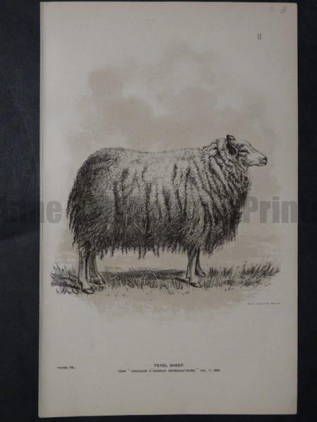 1888 Sheep Print, Old American lithograph(8)