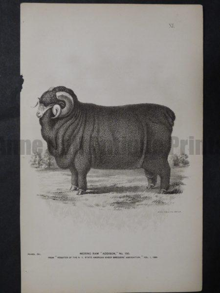 1888 Sheep Print, Old American lithograph(9)