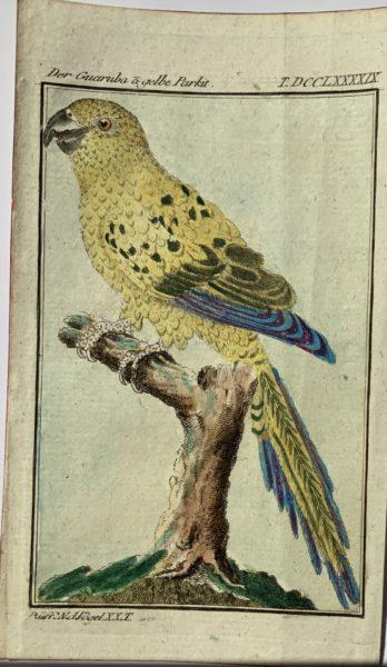 Buffon Parrot 10