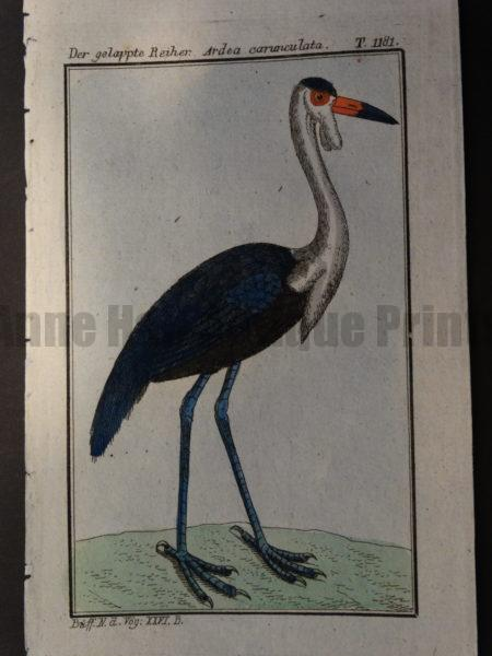 Wattled Crane or Grus carunculata of Africa