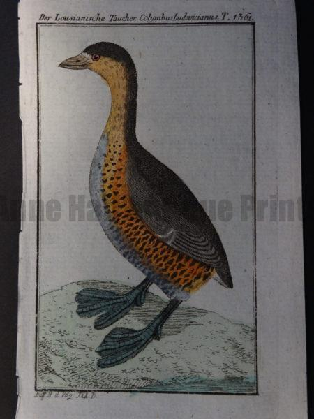 old world species of American loon or diving bird with webbed feet