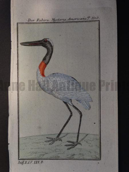 family Ciconiidae of stork wading shore bird
