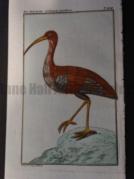 reddish curlew