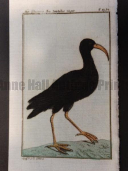 old world Black African Curlew or Heron
