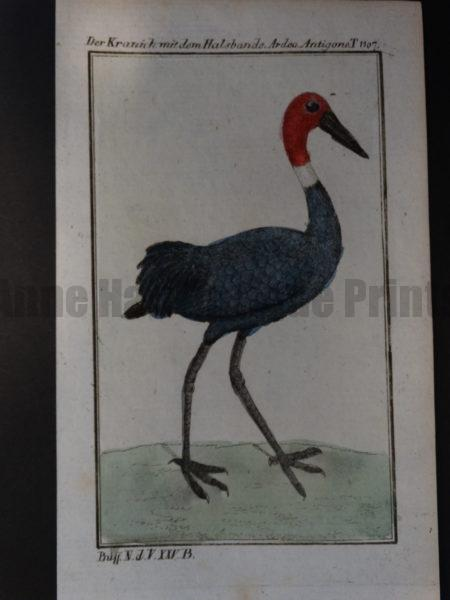 extinct ? crane or heron with white ring around the neck
