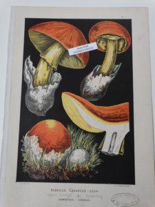 antique mushrooms lithograph