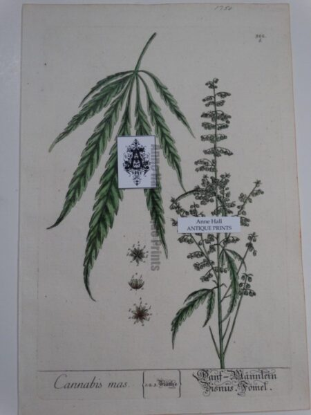 Antique Engraving of Marijuana from 1750
